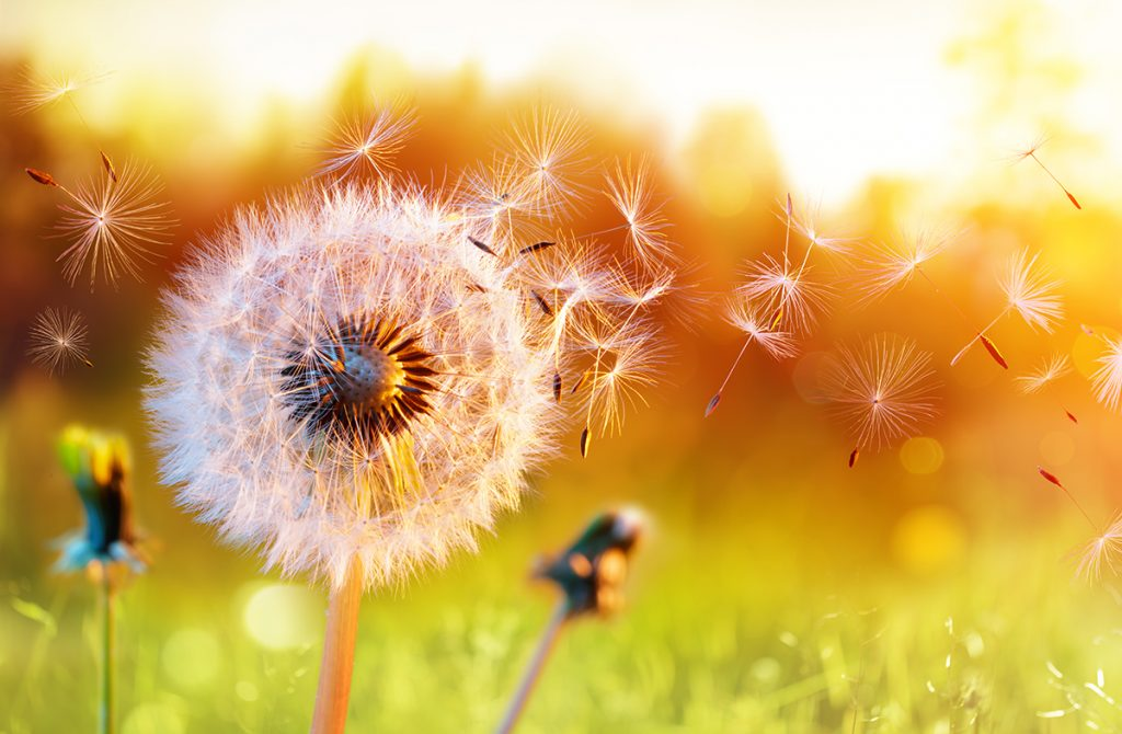 Dandelion with wishes being blow into the wind, representing dreams, vision being set into motion